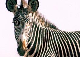 Save a Grevy's Zebra today!